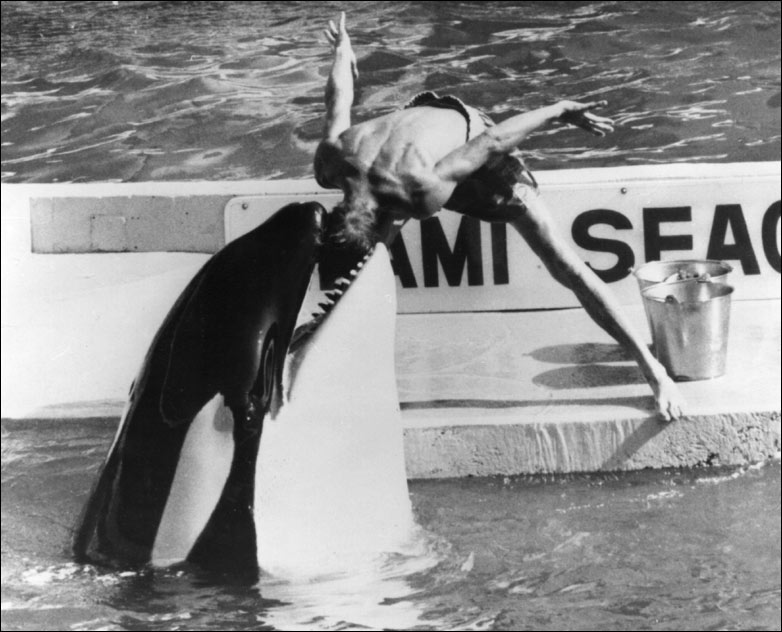 killer whale attacks trainer Who is the most Intelligent