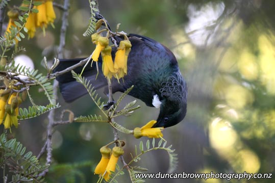 A tui in a kowhai tree, two New Zealand natives photograph