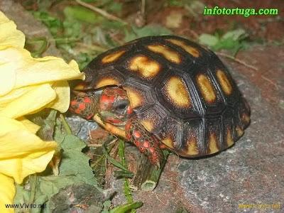 Preciosa cría de Chelonoidis carbonaria