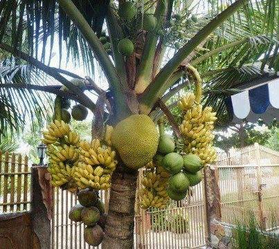 Banana, Coconut, Jackfruit, Unripe Coconut in the Same Plant