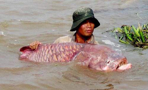 [Khám Phá] - Huyền thoại cá thầy chùa trên dòng Cửu Long 8