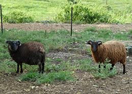 Shetland Ram Lambs for Sale