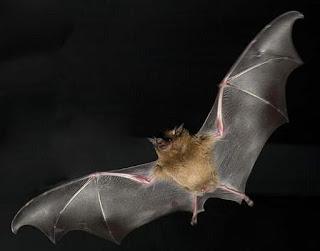 A membrana alar permite que o morcego voe.
