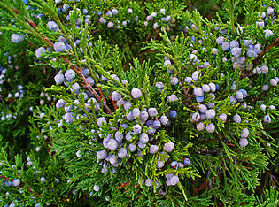 https://fr.wikipedia.org/wiki/Juniperus_sabina