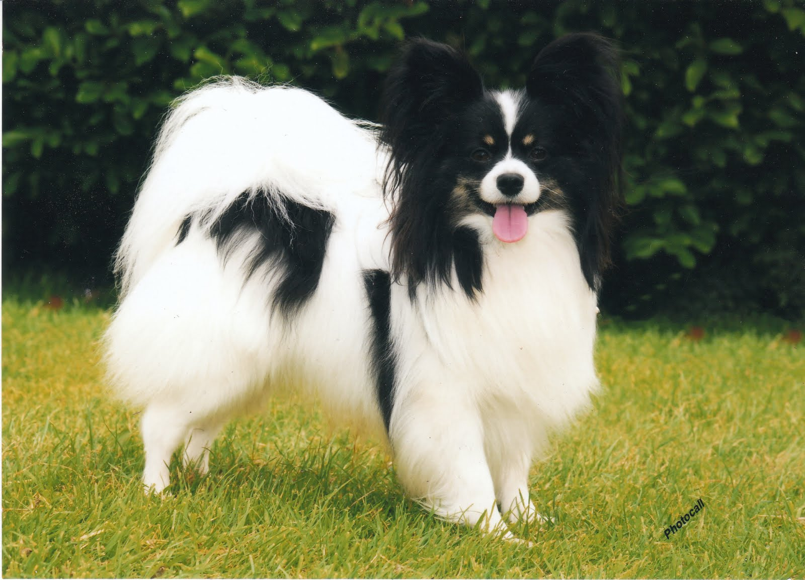 THE PAPILLON (BUTTERFLY DOG) CLUB OF SCOTLAND: SCOTTISH SHOWDOG 2010