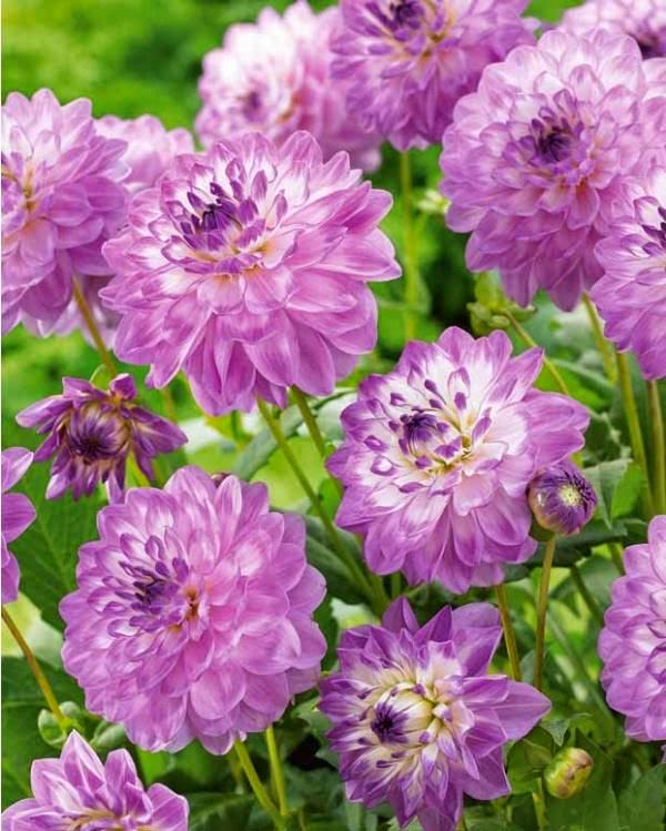 Purple dahlia dreamy nature for Portent of betrayal