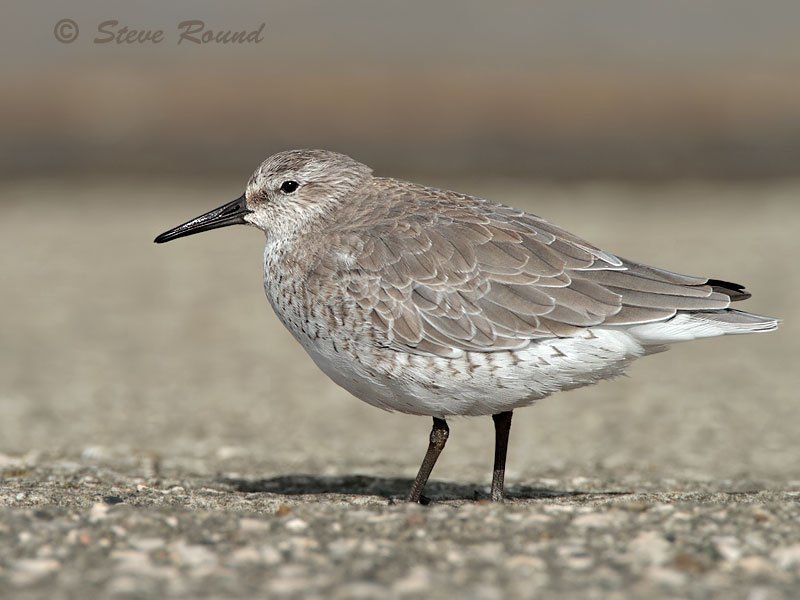 Knot, wader, Red Knot, bird