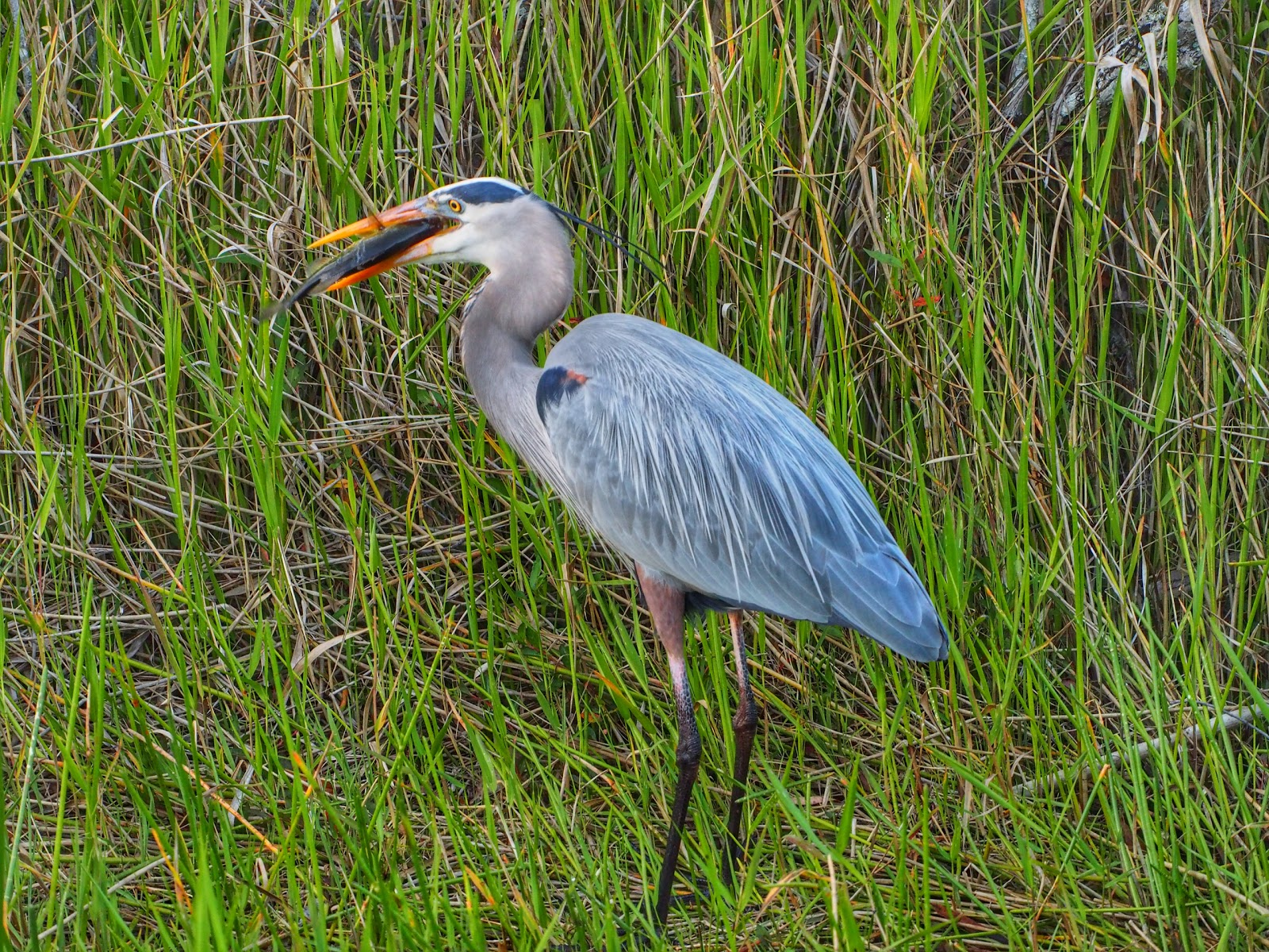 Swallowing #Swallowing #heron #everglades #florida ©2014 Nancy Lundebjerg