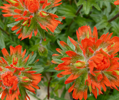 red paintbrush flower