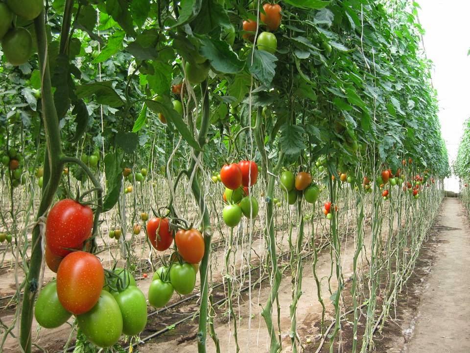 KILIMO SASA: Tomato growing guide-the greenhouse way