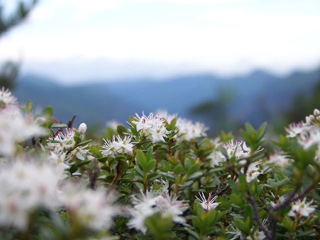 Mountain Myrtle