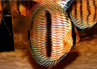 Heckel Discus Fish or the Symphysodon Discus