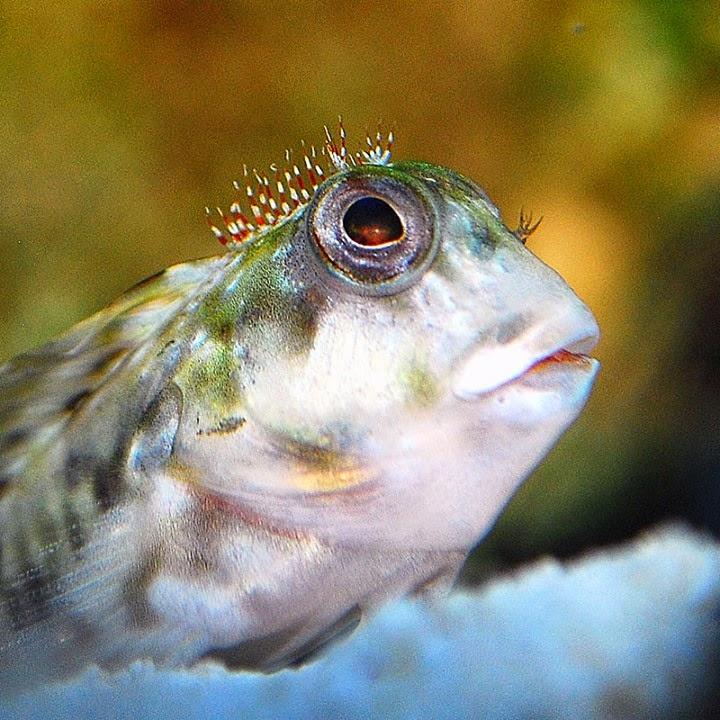 Aquarium adventures molly miller blennies eat aiptasia for Aiptasia eating fish