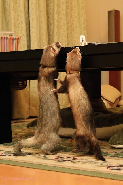 けだまとおたま「テーブルが見たいの!