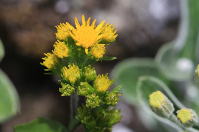 Solidago multiradiata - Northern Goldenrod