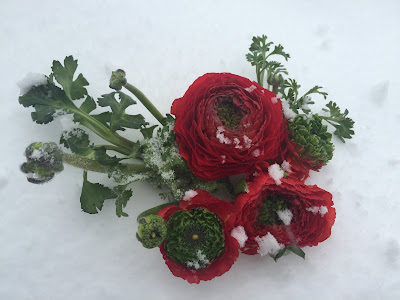 Snowy Red Ranunculus during Winter Storm Jonah, the Blizzard of 2016 by Stein Your Florist Co.