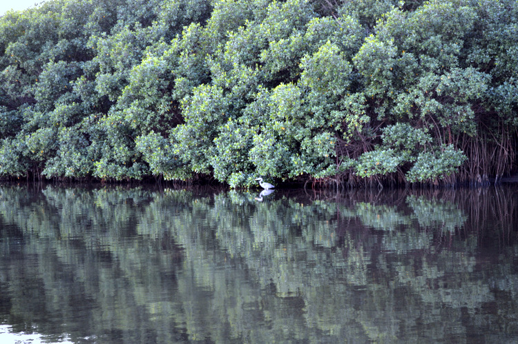 heron reflected with mangroves in the water