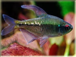 Diamond Tetra Fish Pictures