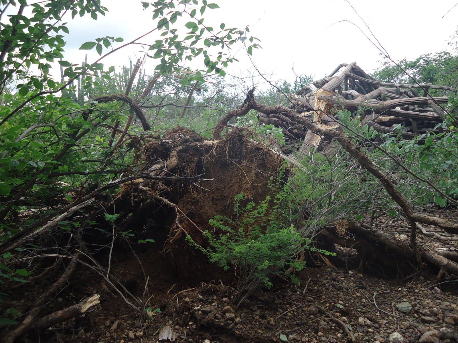 Planta de facheiro derrubada pelos ventos