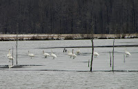 Tundrs Swans