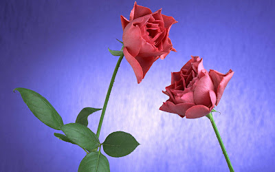 Pink roses with purple background wallpapers