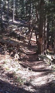 Pine tree shaded trail
