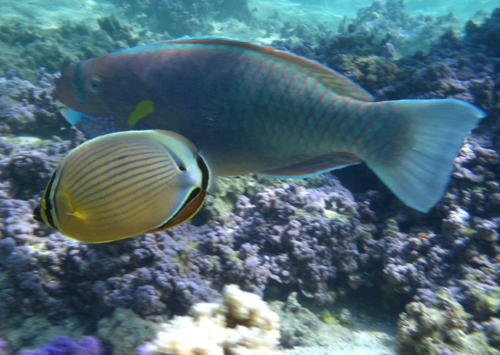 Oval butterflyfish - photo#27
