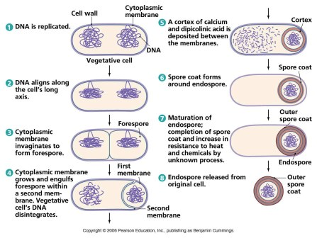 Endospore Formation