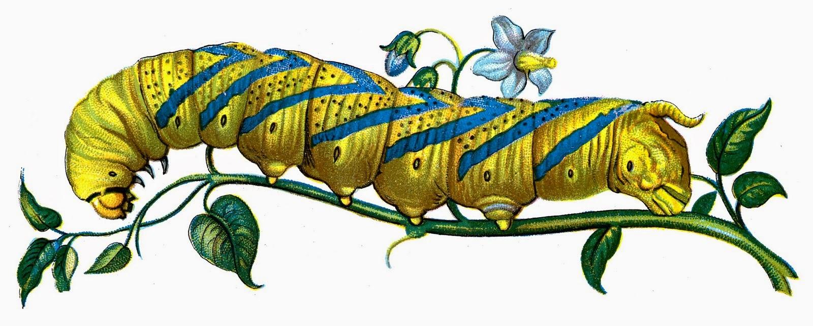 http://4.bp.blogspot.com/-2mojUJCGcQ0/VMxHbz83CVI/AAAAAAAA7UM/r0I_zMtOXmE/s1600/Old_Book_Art_Acherontia_atropos_caterpillar.jpg