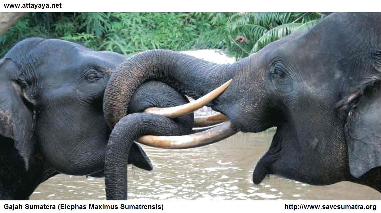 Gajah Sumatera Elephas Maximus Sumatrensis Attayaya Blog