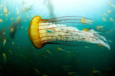 foto: Box jellyfish