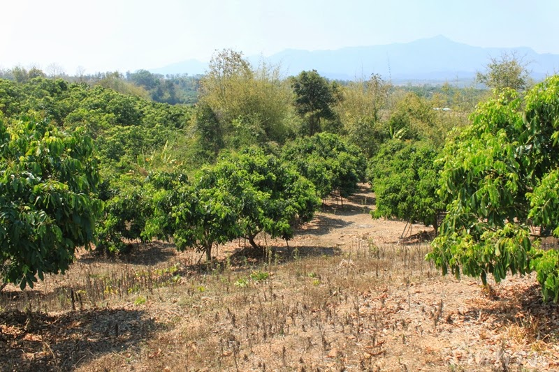 ที่ดิน เชียงใหม่ พร้าว สวนลำไย 5 ไร่ 13 ตารางวา
