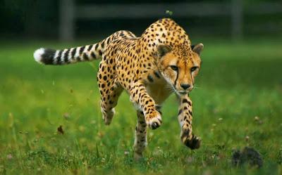 guepardo-correndo
