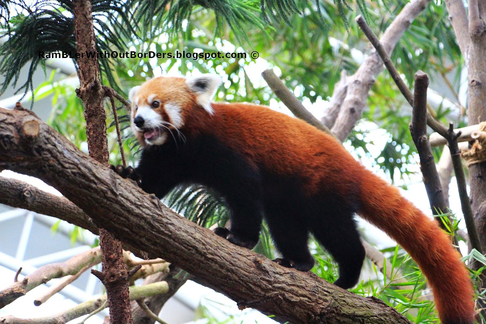 Red Panda, River Safari, Singapore