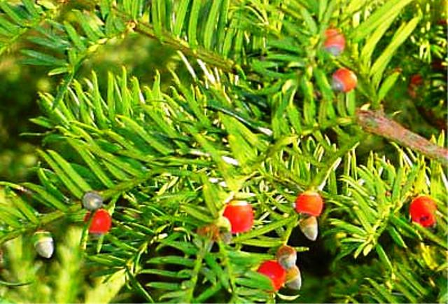 Tanaman Paling Mematikan - English Yew