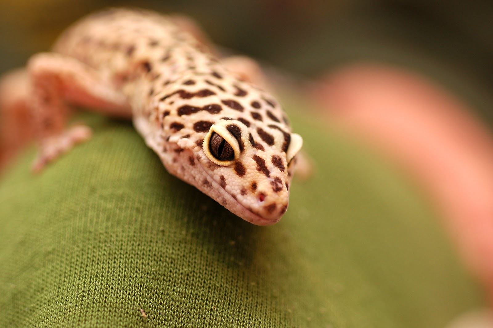 leopard gecko Most people only think about the wild type when it comes to leopard gecko colors learn about the variety of color morphs that exist.