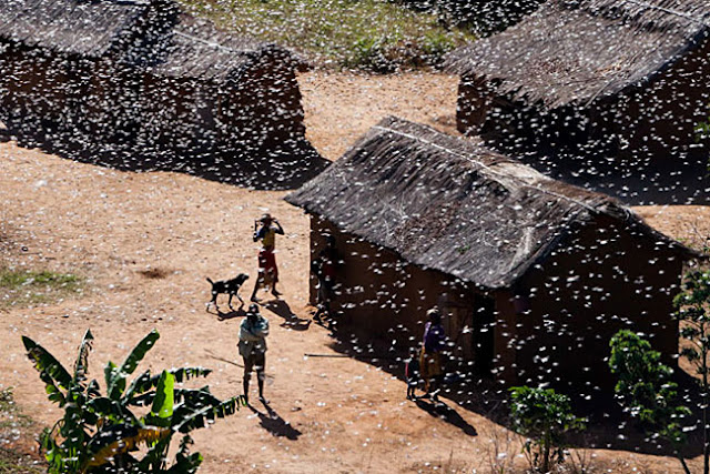 Locust Plague Ravages Madagascar