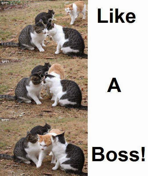 cat like a boss