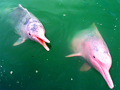 Cool Wallpapers Pink Bottlenose Dolphin