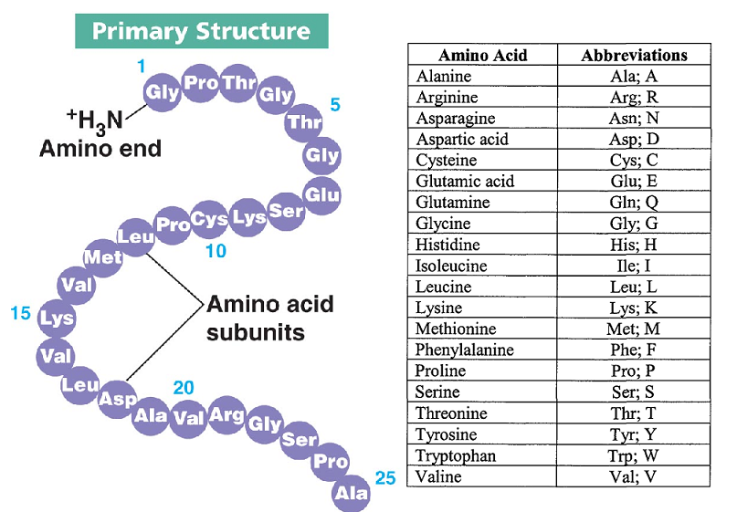 Biology Notes for A level: #13. Protein - Primary, Secondary, Tertiary and Quaternary  structure