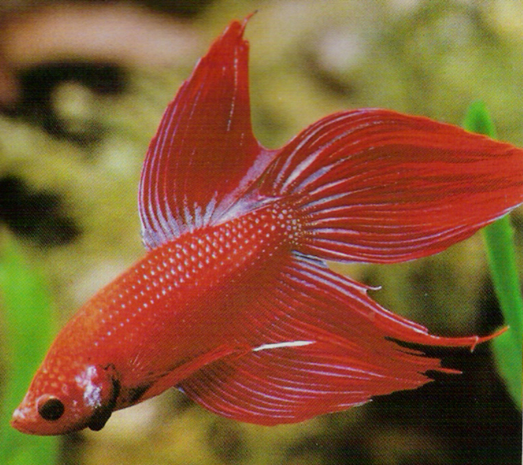 betta fish recommended care planetanimalzone ForHow Much Are Betta Fish