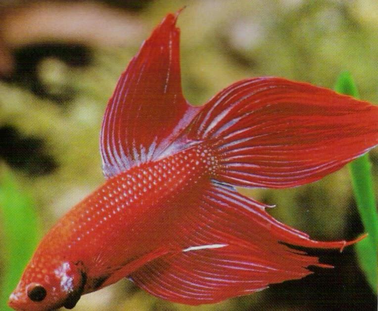 Betta Fish Recommended Care Planetanimalzone