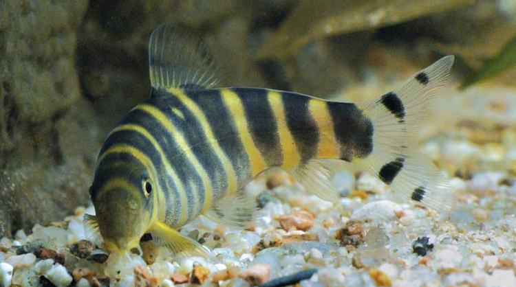 Bangladesh Development Studies: Freshwater Fish of Bangladesh