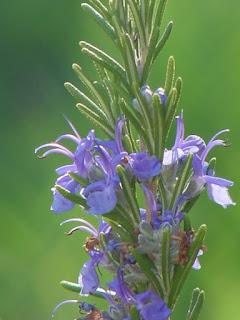 أزهار الروزماري أو إكليل الجبل