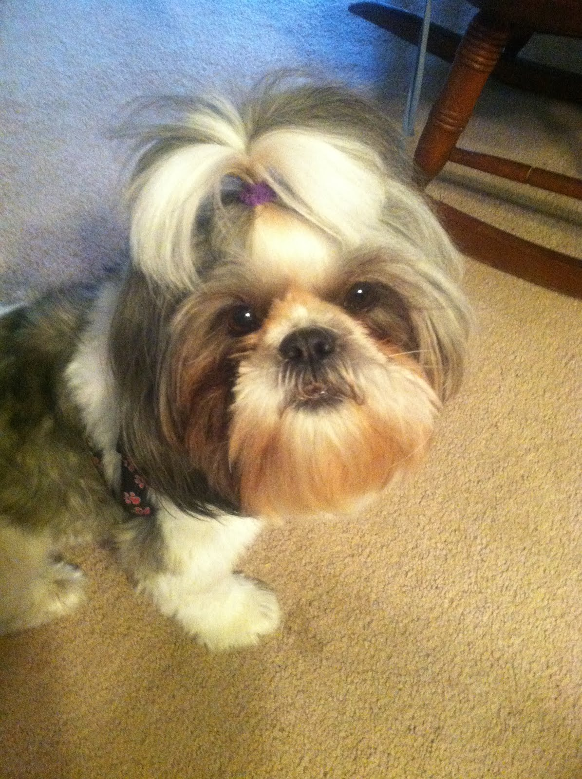 Lehigh Valley Shih Tzu