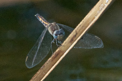 Little Blue Dragonlet (Erythrodiplax miniscula)
