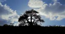 Baobás de Porto de Galinhas. Direção de Marcelo Pnhheiro