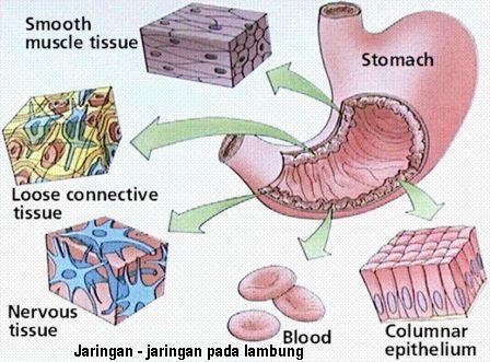 Berikut beberapa koleksi gambar saya mengenai sel dan jaringan