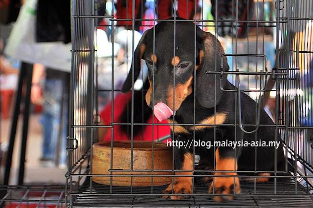 Cute Puppy in Kota Kinabalu
