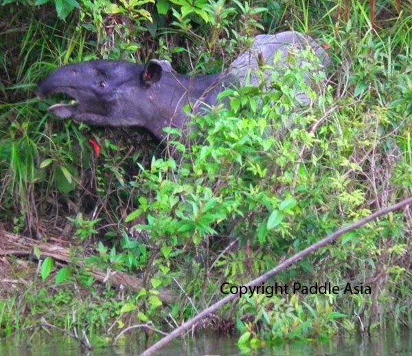 Thailand Tapir image